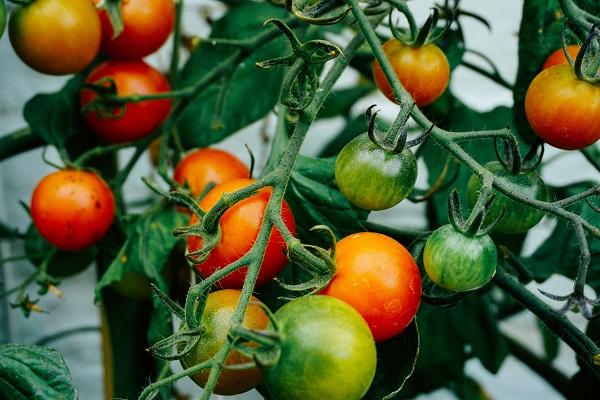 Tomates grâce au compost des toilettes sèches