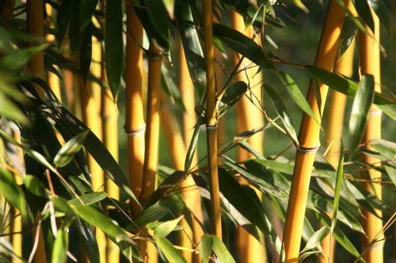 Le bambou pour la phytoépuration