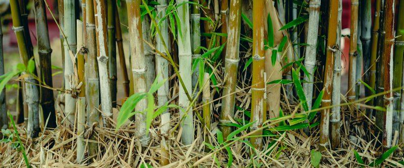 le bambou plante épuratrice pour la phytoépuration