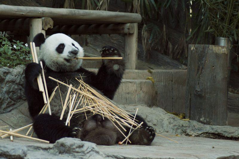 Le bambou peut se manger