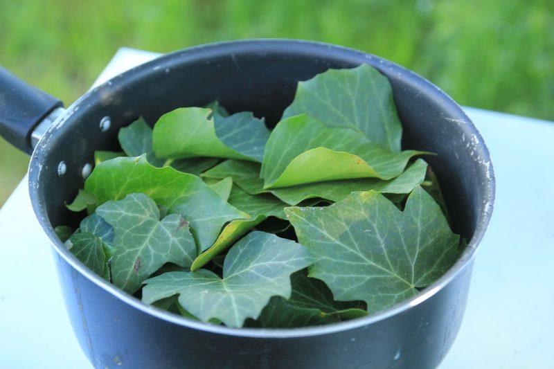 récolte feuilles de lierre pour la lessive