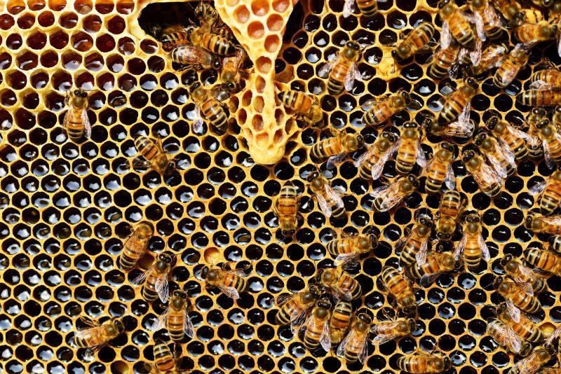 Abeille sur cadre de miel