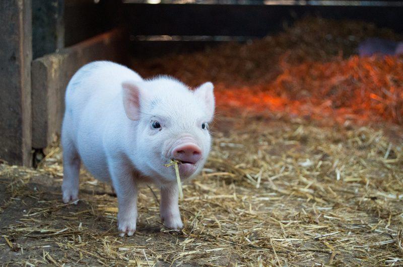 autoconstruction écologique et mythe des 3 petits cochons